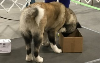 Akita sniffing a box for Our Happy Dogs.