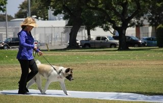 Akita and owner walking for Our Happy Dogs.
