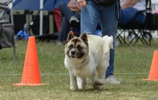 Akita running for Our Happy Dogs.