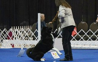 Akita in agility for Our Happy Dogs.