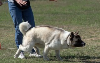Lure coursing Akita for Our Happy Dogs.