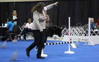 Akita jumping a high jump in Obedience for Our Happy Dogs.