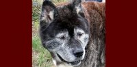 "For story ""What Is A Rescue Dog"" - example of an older Akita."