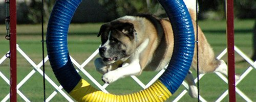 Example of an Akita participating in Agility.