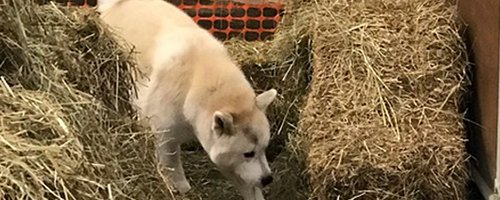 Example of an Akita during a Barn Hunt.
