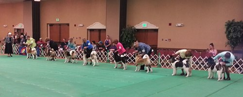 Example of Akitas lined up in the conformation ring.