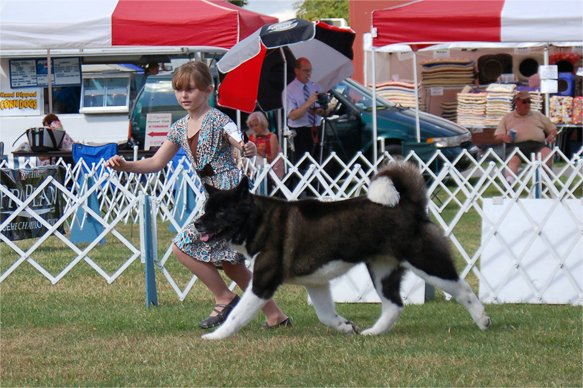 Example of a junior showing her Akita in conformation.