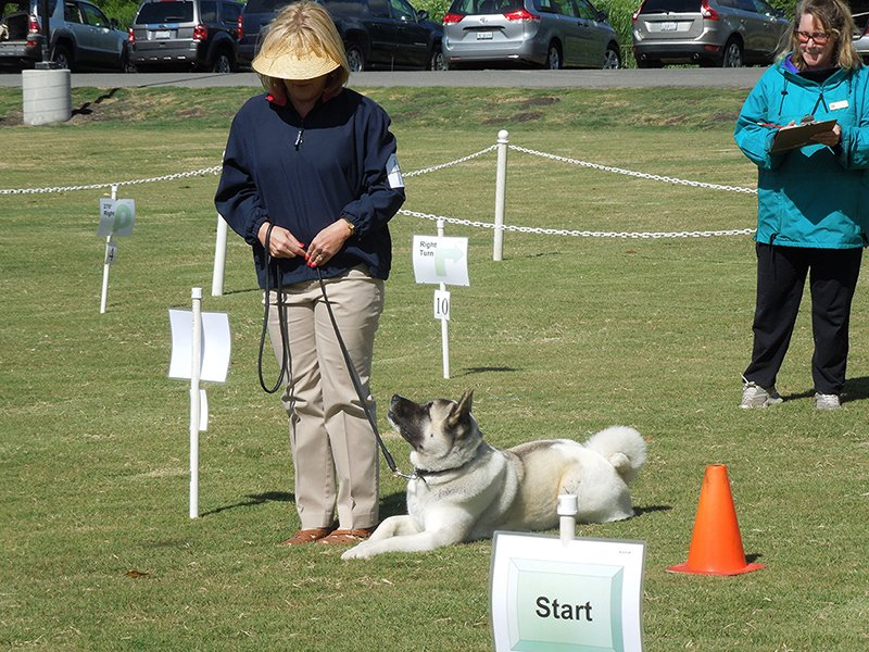 Example of an Akita in a down-stay during a Rally competition.