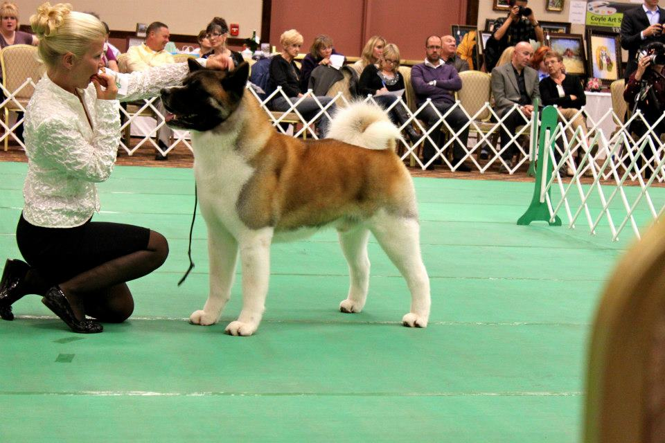 Example of an Akita participating in the Top 20.