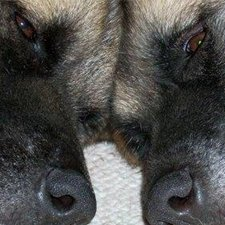 Two Akitas resting head to head - used for a link to ACA Membership.