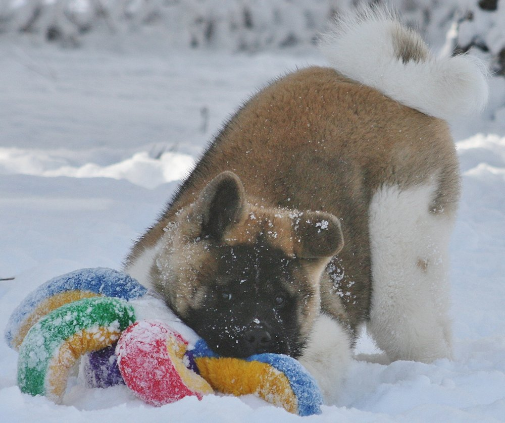 Example of an Akita puppy at approximately 4 months old playing in the snow.