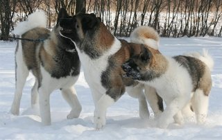 Three Akitas playing together in the snow.