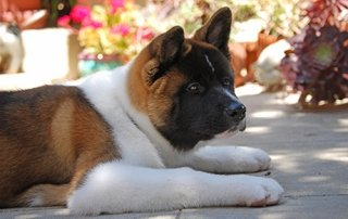 Tan and white Akita for Our Happy Dogs.