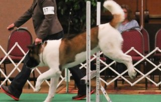 Akita jumping the high jump in Agility for Our Happy Dogs.
