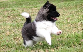 Akita puppy for our Happy Dogs.