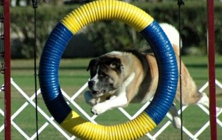 An Akita jumping through a ring in Agility.