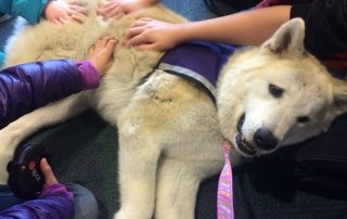 Akita puppy laying on owners lap getting pats for Our Happy Dogs.
