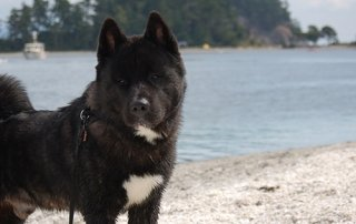 Black Akita beautifully posed at the beach for Our Happy Dogs.