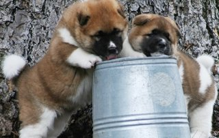2 baby Akitas playing with a pail for Our Happy Dogs.