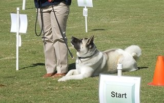 Akita in a down stay in Rally for Our Happy Dogs.