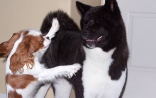 Black and white Akita playing with a King Charles Spaniel for Our Happy Dogs.