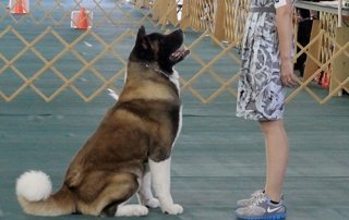 Photo showing a sitting Akita for Our Happy Dogs.