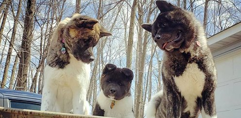 Akita parents looking at their puppy