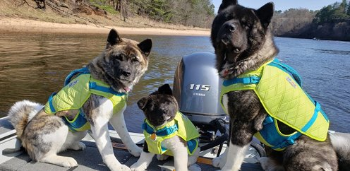 Three Akitas riding on a boat